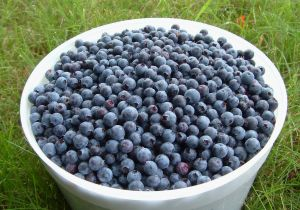 Pick your own blueberries for a unique and educational experience.