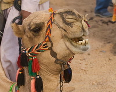 Camels have flat teeth for mashing and grinding at grains.