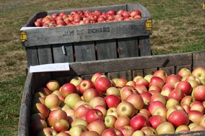 Organic apples from a local farm; fresh, seasonal local apples have the most health benefits.