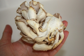 One of the more beautiful types of mushrooms is oyster mushrooms.