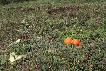 An active squash and pumpkin patch in Virginia.