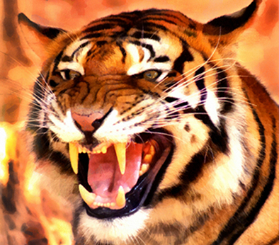 The sharp incisors on tigers show they are true carnivores.