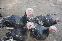 Turkeys on organic farms- they still get eaten, but they do get to walk around the farm freely.