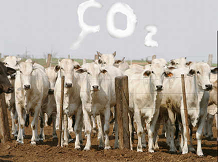 The methane gas released by grazing cattle causes damage to the ozone.