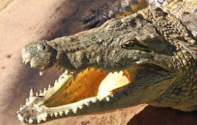 Crocodiles have sharp teeth and powerful jaws to snap down on their prey.