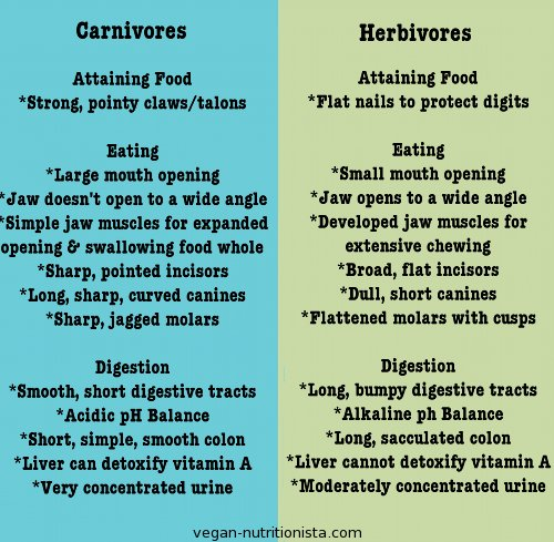 The difference in anatomy between carnivores and herbivores shows that humans are clearly built as herbivores.